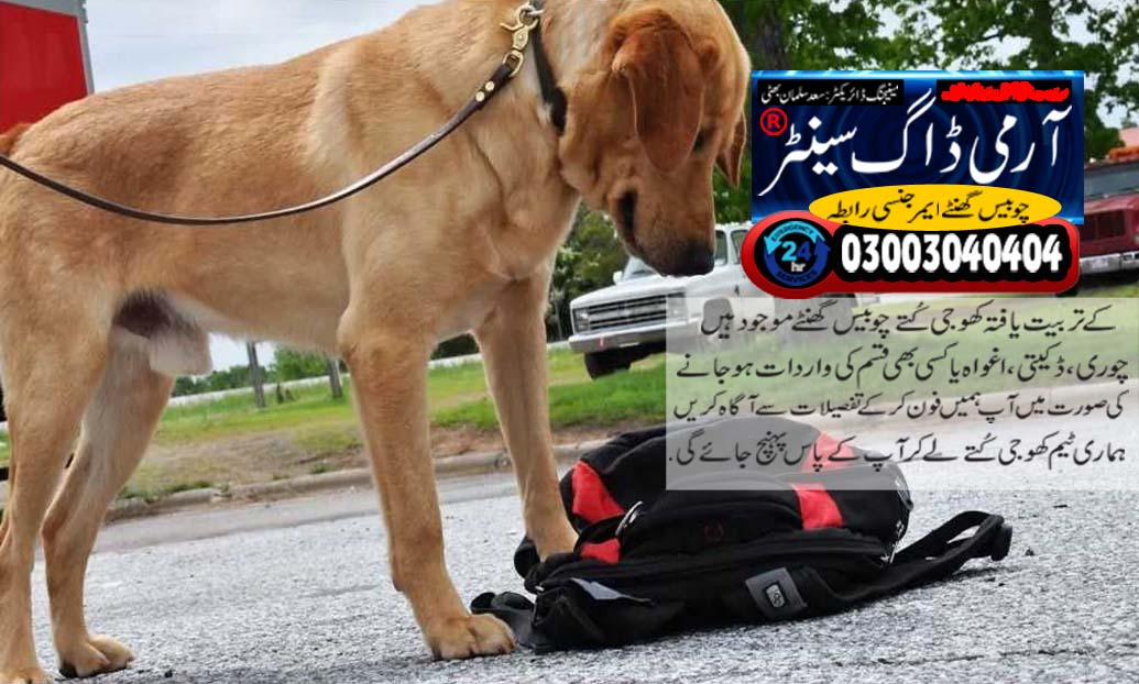 Labrador retriever work in army dog center pakistan