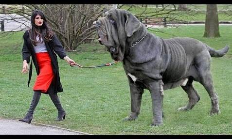 Biggest Dog Breed in The World 2020 Have You Continually Loved